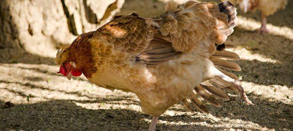 ¿Cómo mantener a tu gallina bien alimentada?