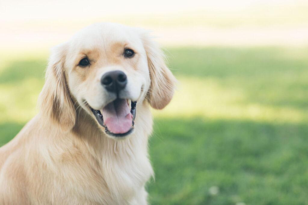 ¿Ya conoces las ventajas de alimentar a tu perro con piensos holísticos y grain free?