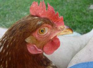 alimento-gallinas