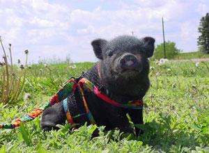 Cerdo enano vietnamita