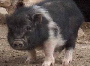 El adiestramiento del Cerdo Vietnamita
