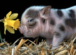 Cerdo vietnamita la mascota de moda