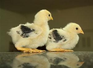 Consejos para comprar gallinas