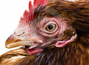 corte-plumas-gallinas