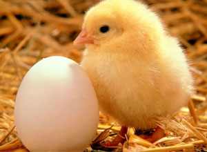 Cría de pollitos
