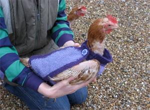 Domesticar a una gallina