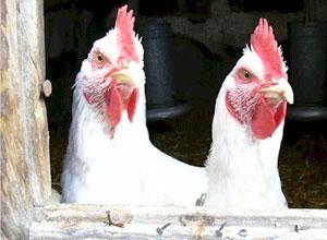 enfermedades-gallinas