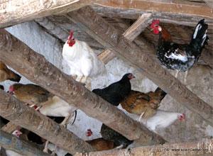 Cercados para gallinas