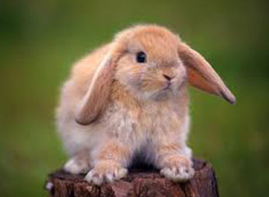 Gestación de conejos