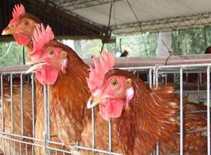 Jaulas para gallinas y conejos